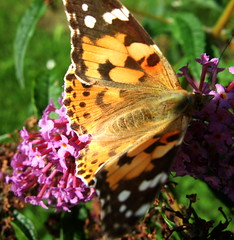 StSJFH 058 (Sheepdog Rex) Tags: butterfly butterflies paintedlady hortoncumstudley