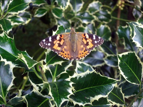 painted lady on holly