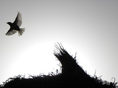 Borj Cedria 2009 - Tunisia (Luca 4891) Tags: africa light bird backlight back estate tunisia agosto 09 2009 vacanza controluce paglia uccello borj tunisi ferragosto ombrellone uccellino borjcedria cedria 150809