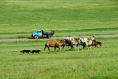 TRUCKING IN MONGOLIA (Claude  BARUTEL) Tags: dogs mongolia trucks camels nomads trucking steppe drivers