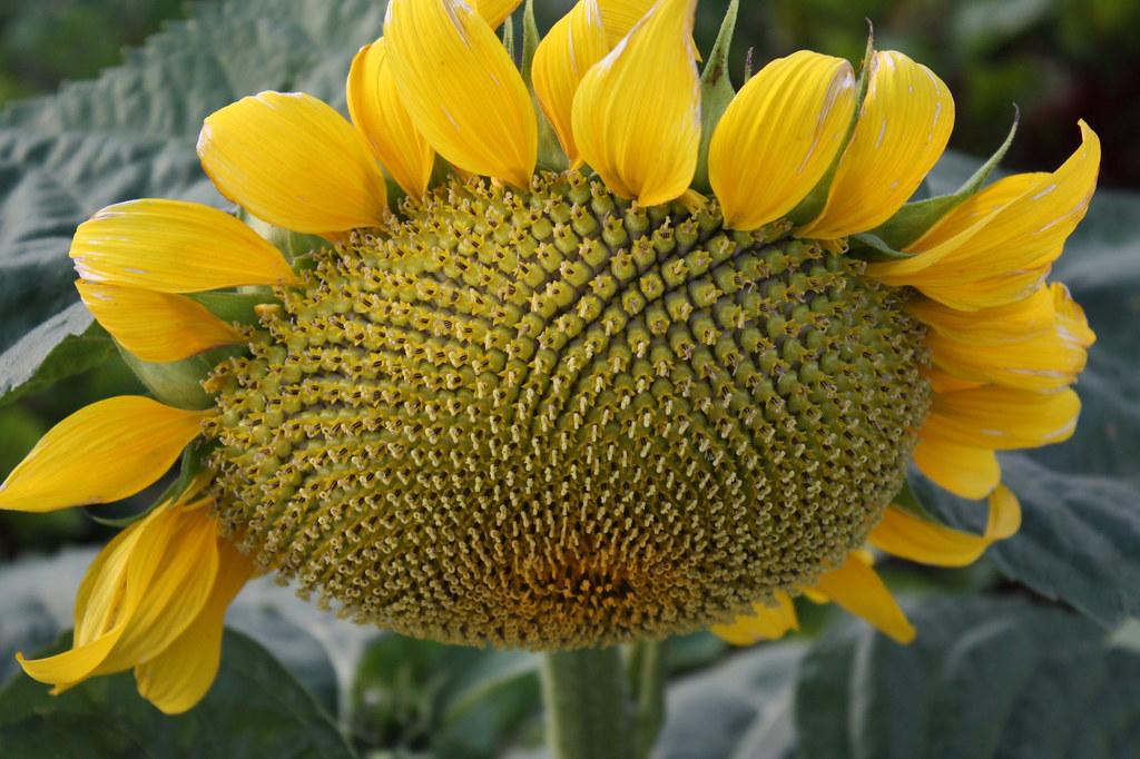 Ingrids Sonnenblumen