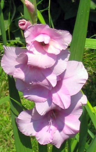 Pink Glad
