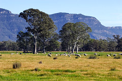 The Grampians, Victoria, Australia, sheep grazing IMG_6527_The_Grampians (Darren Stones Visual Communications) Tags: mountain darren rural sheep stones farm farming australia grampians victoria vic grazing dgstones