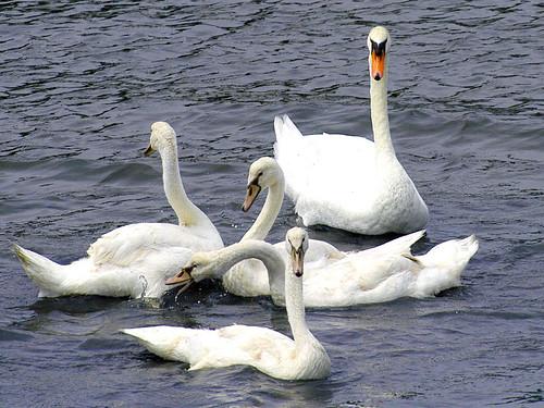 swans squabbling copy