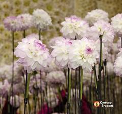 Zacht Lila (Omroep Brabant) Tags: flowers holland colors parade brabant bloemen dahlias flowerparade kleurrijk kleuren flowerart bloemencorso omroepbrabant zundert bloemencorsozundert wwwomroepbrabantnl