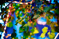 evening fruit (moaan) Tags: life leica light digital 50mm evening twilight dof bokeh dusk illumination vine utata m8 konica 2009 grape grapevine ripe atdusk f12 mhexanon inlife leicam8 konicahexanon50mmf12 ripning gettyimagesjapanq1 gettyimagesjapanq2
