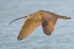 long-billed curlew (michaelrosenbaum) Tags: beach nature canon wildlife flight bir avian fortdesoto birdwatcher curlew longbilledcurlew shorebird michaelrosenbaum specanimal tnc09