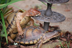 consumation (jackandphyl) Tags: nature turtles reptiles boxturtles animalsmating reptilesmating