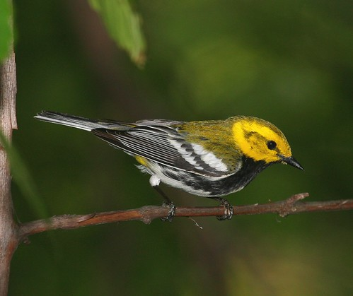 BLACK-THROATED GREEN WARBLER 37 9287
