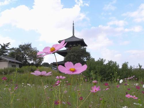法起寺三重塔とコスモス@斑鳩町