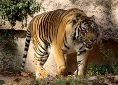Tigre de Sumatra (LuisTroya) Tags: barcelona zoo sumatrantiger tigredesumatra