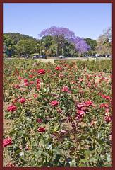 Jacaranda in New Farm Park-02& (Sheba_Also 11,000,000 + Views) Tags: park new farm jacaranda