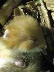 09 10 04 Jaulas y acces 008 (TeTe`) Tags: hamsters durmiendo juveniles