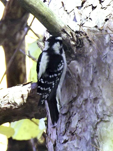 backyard woodpecker 3
