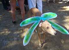 dragonflydog (istolethetv) Tags: nyc newyorkcity dog eastvillage newyork photo foto image awesome lowereastside snapshot picture photograph  animale dogrun howloween  tompkinssquarepark halloweendogs dogcostume halloweendog costumeddog dogwearingclothes insectwings newyorkdogs halloweenhowl doginacostume decoratedanimal doghalloweencostumes halloweendogcostume howlloween canetravestito caneincostume halloweencostumesfordogs halloweendogparade2009 2009tompkinssquareparkhalloweendogparade 2009eastvillagedogparade doginahalloweencostume 19thannualtompkinssquarehalloweendogparade dragonflydog dragonflydogcostume