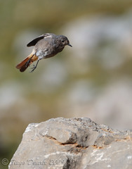 Black Redstart (female) at Picos de Europa (tgduarte) Tags: black bird female spain wildlife ave moutain birdwatching fmea redstart picosdeeuropa phoenicurusochruros fuented rabirruivopreto elcable nikond80 nikkor70300mmf4556gifedafsvr