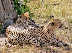 Two brothers revisited (keithhull) Tags: africa tree kenya brothe