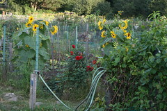 fall sunflowers at the community gardens
