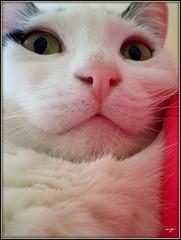Funny Face (sevgi_durmaz) Tags: friends funnyface beautiful animal cat happy funny cuteness loveable kissable smilingface pamuk bestofcats impressedbeauty vosplusbellesphotos boc1109