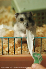 TeaTea: Give me the tissue! (EricFlickr) Tags: pet cute animal animals rodent hamster hammie