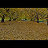 Golden Carpet (whc7294) Tags: autumn japan ginkgo 銀杏 イチョウ hdr photomatix 2470mmf28 superhearts 祖父江 artistsoftheyear platinumheartaward nikond300 piatiumheartawardhalloffame そぶえイチョウ黄葉まつり