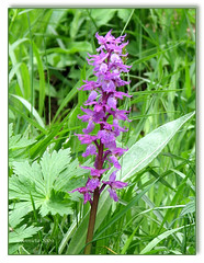 Orchis ( Annieta  Off / On) Tags: pink italy mountain lake holiday orchid flower color macro nature june closeup juni fleurs montagne canon ilovenature this vacances vakantie is photo juin montana italia natuur lac powershot using piemonte alpine illegal s2is monte fiori orchidee wildflower farbe colori without canonpowershots2is 2009 couleur permission allrightsreserved aosta monti itali roze bloem gmt valledaosta orchis valdaosta kleur stuwmeer mountainflower subalpine aostavalley annieta valpelline wildebloem concordians lagodiplacemoulin valledaosta usingthisphotowithoutpermissionisillegal