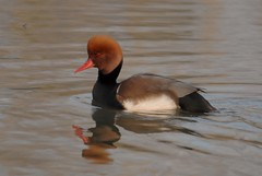 Fistione turco (giansacca) Tags: friends birds animals aves uccelli animaux animali vogel oiseaux racconigi redcrestedpochard nettarufina kolbenente lipu patocolorado netterousse fistioneturco associazionecentrocicogneeanatidi brantaroja