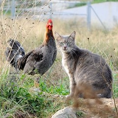 Oh! (Assun) Tags: cat nikon couple gato gat gallina parella vallbona d700 catmoments