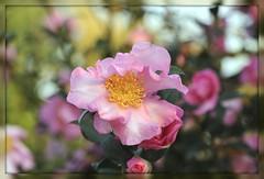 Un fiore tra i fiori... (paolo-55) Tags: closeup nikon camelliasasanqua 105mmvrmicronikkor d700