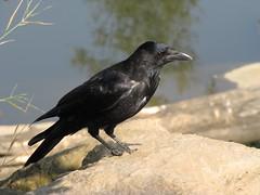 Rabenvogel (DiePixel) Tags: rabe rabenvogel dohle kolkrabe vogelrabenvogel