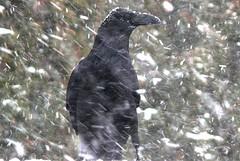 200912_09_04 - Crow