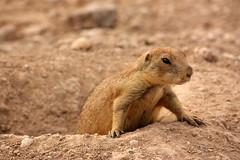 Prairie Dog, Living Desert State Park, Carlsbad