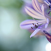 ...I let it fly away, and away... (jewelflyt) Tags: flower macro square petals purple bokeh stamen cropped agapanthus processed loveletter redbubble leonalewis lyircs hpps perfectpurplesaturday