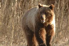 grizzly (Steve Courson) Tags: bear bears grizzly grandteton grizzlies grizzlybear stevecourson