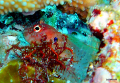 Blackflap blenny, Similan Islands Thailand