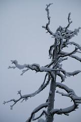 A snowy dead standing pine