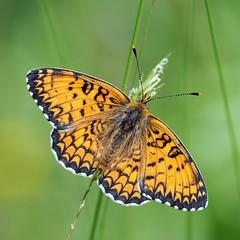 Melitaea phoebe (giansacca) Tags: butterfly ngc insects lepidoptera papillon mariposa farfalla insetti farfalle lepidottero melitaeaphoebe mygearandme mygearandmepremium mygearandmebronze