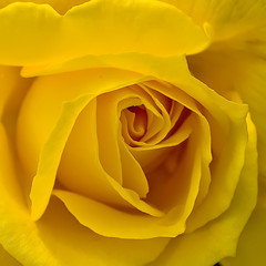 el laberinto de la rosa (R.Duran) Tags: flower macro rose closeup nikon flor rosa d300 ltytr1 nikkor105mmf28gvrmacro