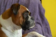 Boxer Dana (mikdm1) Tags: boxer mydog boxerdog dog dogphotography dogpotrait lovedog