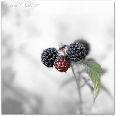 Blackberry (Ronaldo F Cabuhat) Tags: pictures travel macro art nature fruits beauty canon photography berry berries blackberry joy images orchard highkey pickyourown fruitpicking selectivecolor samascottorchards rubusallegheniensis cano
