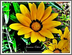 """Yellow"" ( Photography Janaina Oshiro ) Tags: naturaleza flower macro nature yellow japan digital natureza flor amarela nikond90"