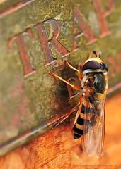 Nearsighted (nikkorglass) Tags: macro closeup insect nikon sweden july micro sverige juli nikkor insekt 2009 f28 vr d300 potofgold flowerfly blomfluga macroextreme 105mmvr nikkorglass hoverfliy macrolife vosplusbellesphotos