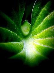 What Lies WIthin a Leaf (Modernjiddu) Tags: black macro green nature lines leaf wings 15challengeswinner modernjiddu