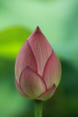 Slim Lotus Bud (Apricot Cafe) Tags: pink flower green japan tokyo東京 tamronspaf90mmf28dimacromodel272e yakushiikepark薬師池公園 lotusハス natureselegantshots explorewinnersoftheworld nelumbonuciferaハス thebestofmimamorsgroups hebestofmimamorsgroups