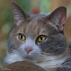 Daisy Mae (Don Iannone) Tags: ohio portrait animal closeup cat nikon feline flickr bokeh kitty calico cateyes housecat calicocat petportrait daisymae petphotography familypet northeastohio mayfieldvillage doniannone greatercleveland doniannonephotography nikond2xcamera