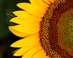 Giant Sunflower - explore (Marvin Bredel) Tags: plant flower oklahoma nature explore sunflower okarche interestingness306 i500 marvin908 marvinbredel
