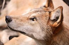 [フリー画像] [動物写真] [哺乳類] [イヌ科] [狼/オオカミ]       [フリー素材]
