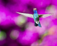 """ Hummingbird  Technicolor "" (Alfredo11) Tags: flowers motion texture textura colors birds speed mexico dof bokeh background flash colores movimiento explore ave alfredo pajaro frontpage beijaflor fondo treatment colibri tratamiento humingbird picaflor pocketwizard rapidez nikoncreativelightingsystem strobist nikon80400mm nikond3"