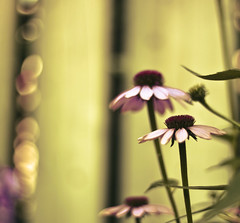 Perfect Purple Parasols (raceytay {I brke for bokeh}) Tags: flower canon purple echinacea bokeh coneflower tweaked tohellandback 50mmf18ii bokehlicious 5dmarkii perfectpurplesaturday dheml raceytayed the