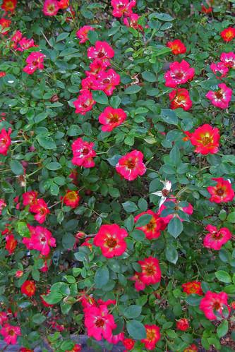 Roses in my back yard.